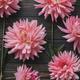 Autumn flowers on rustic wood flat lay. Beautiful seasons greeting card. Pink dahlias wallpaper - PhotoDune Item for Sale