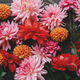 Colorful dahlias flowers composition on rustic wood flat lay. Floral card.Beautiful Autumn wallpaper - PhotoDune Item for Sale