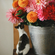 Beautiful pink and red dahlias and asters in metal bucket and cute little kitty smelling flowers - PhotoDune Item for Sale