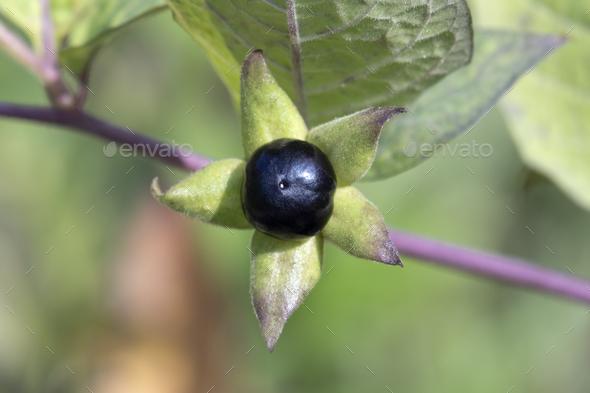 Fresh Atropa Belladonna berry close up - Stock Photo - Images