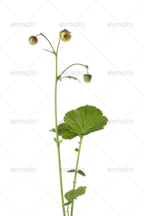 Fresh flowering water avens - Stock Photo - Images