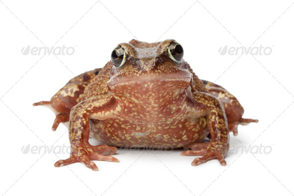 Common brown frog - Stock Photo - Images