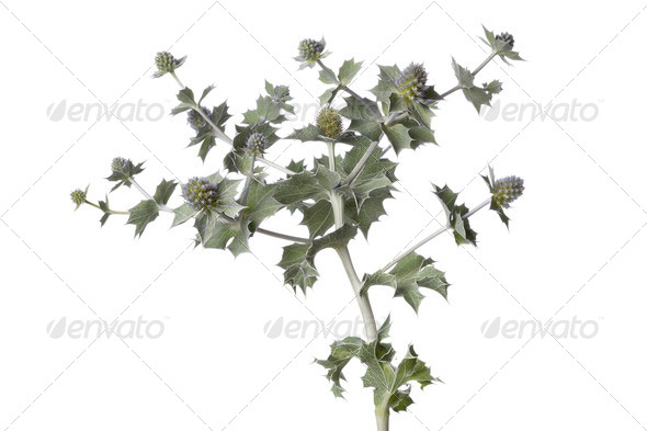 Fresh Sea holly plant - Stock Photo - Images