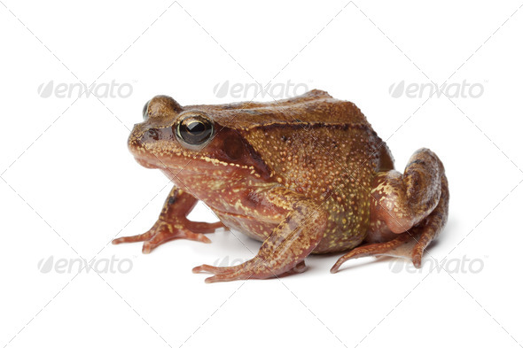 Common brown frog en profile - Stock Photo - Images