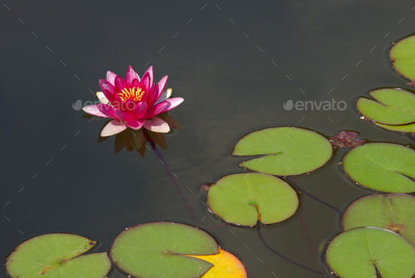 Beautiful pink water lily or lotus blossom on surface of pond - Stock Photo - Images