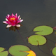 Beautiful pink water lily or lotus blossom on surface of pond - PhotoDune Item for Sale