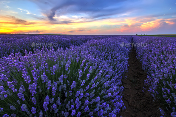 blooming lavender - Stock Photo - Images