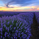 blooming lavender - PhotoDune Item for Sale