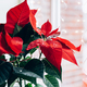 Christmas Poinsettia in ceramic pot - PhotoDune Item for Sale