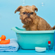 Brussels Griffon dog washes in a basin - PhotoDune Item for Sale