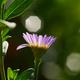 Purple daisy in bloom - PhotoDune Item for Sale