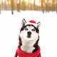 Christmas husky dog in red scarf, attire, Santa hat in snowy forest - PhotoDune Item for Sale