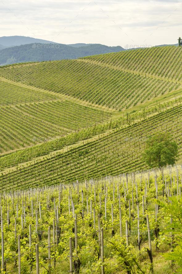 Vineyards on the Tortona hills at springtime - Stock Photo - Images