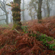 Autumnal fog in an oak forest with reddish ferns - PhotoDune Item for Sale