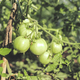 Branch of unripe tomatoes in the vegetable garden. Growing the tomatoes. - PhotoDune Item for Sale
