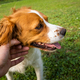 Petting Brittany Spaniel dog outside - PhotoDune Item for Sale