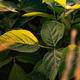Closeup of green leaves of soybean plant - PhotoDune Item for Sale