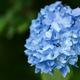 Bush of blooming blue Hydrangea - PhotoDune Item for Sale