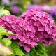 Bush of blooming pink Hydrangea - PhotoDune Item for Sale