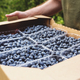 Senior man hands holding box with fresh cultivated blueberry - PhotoDune Item for Sale