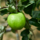 Green apples hanging on a branch, close up, Concept of growing - PhotoDune Item for Sale