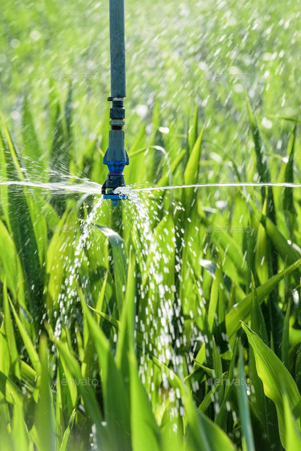Sorghum crops plantation irrigation - Stock Photo - Images