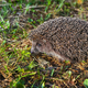 Hedgehog - PhotoDune Item for Sale