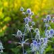 Eryngium Planum - Wild Herb Plants Growing On Meadow - PhotoDune Item for Sale