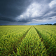 Meadow of wheat harvest and rainy clouds - PhotoDune Item for Sale