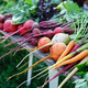 Carrots and beets of different varieties with green tops. Healthy food - PhotoDune Item for Sale
