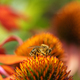 Bee collecting nectar at a coneflower blossom - PhotoDune Item for Sale