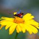 Five-Spot Burnet moth, Zygaena trifolii - PhotoDune Item for Sale