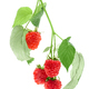 Raspberry berries with green leaves on a white background isolate - PhotoDune Item for Sale