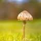 Parasol Mushroom in meadow - PhotoDune Item for Sale
