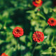 bush of blooming red flowers in the sun - PhotoDune Item for Sale