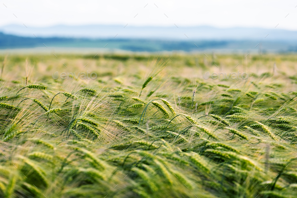 Young green wheat field against the blue sky background - Stock Photo - Images