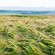Young green wheat field against the blue sky background - PhotoDune Item for Sale