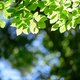 Closeup nature view of green beech leaf on spring twigs - PhotoDune Item for Sale