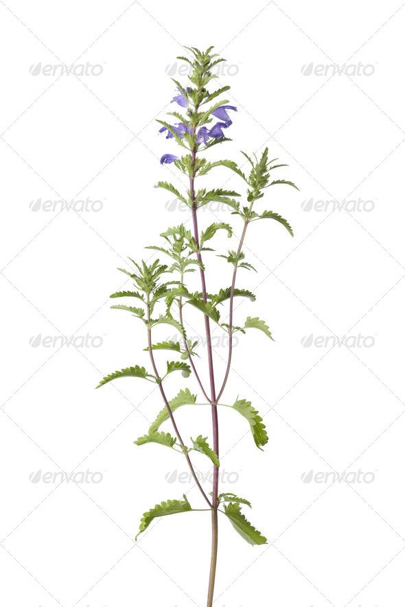 Flowering Moldavian Balm - Stock Photo - Images