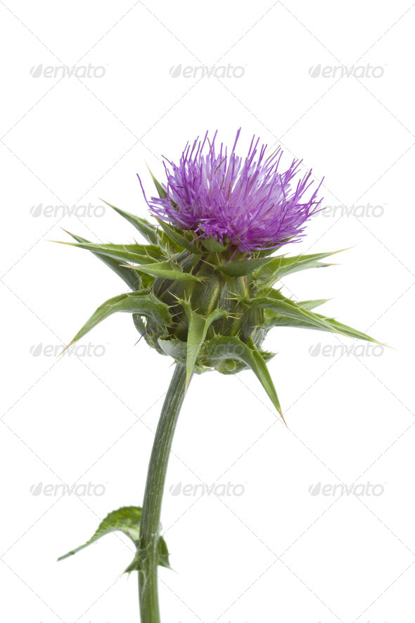 Flowering Milk thistle - Stock Photo - Images