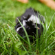 Black Guinea pig sitting outdoors in summer, Pet calico guinea pig grazes in the grass - PhotoDune Item for Sale