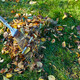 Old red rake in a pile of fall maple leaves, Raking autumn leaves on grass lawn - PhotoDune Item for Sale