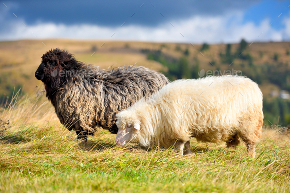 Sheep on a mountain pasture. Sunny autumn day - Stock Photo - Images