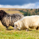 Sheep on a mountain pasture. Sunny autumn day - PhotoDune Item for Sale