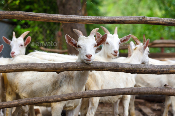 Goat family standing in wooden paddock in the yard - Stock Photo - Images
