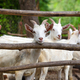 Goat family standing in wooden paddock in the yard - PhotoDune Item for Sale