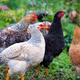 Hens in field organic farm. Free range chickens on a lawn - PhotoDune Item for Sale
