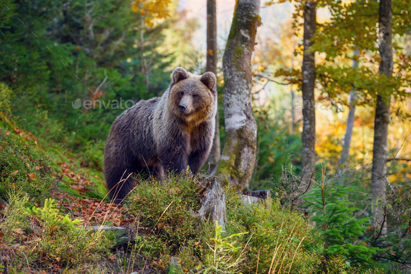 Young european brown bear in the authumn forest - Stock Photo - Images