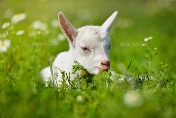 White little goat resting on green grass with daisy flowers on a sunny day - Stock Photo - Images