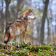 Wolf (Canis lupus) in autumn forest. Grey wolf in natural habitat - PhotoDune Item for Sale
